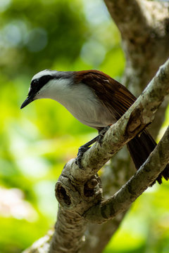 White-Crested Laughingthrush on Tree Branch on Sunny Day