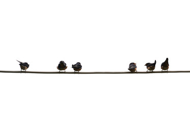 Baby swallows waiting their mom on the wire for food on isolated white background