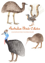 A collection of Australian birds in watercolor. Illustration of cassowary, ostrich emu, birds Lira, kiwi on white background.
