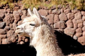White Alpaca Huacaya Head