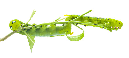 Green butterfly worm close up in white background