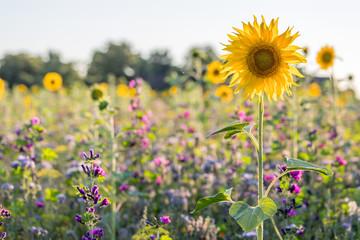 Blumenwiese in Rheinhessen an einem Sommertag