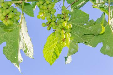 Wall Mural -  grappes de raisins verts