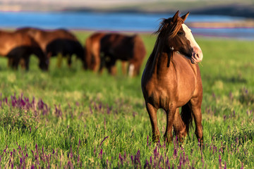 Photo sur cadre textile Chevaux Wild horses graze in the sunlit meadow