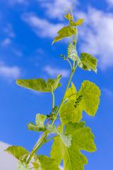 Wall Mural -  jeune pampre de vigne avec grappillons sur fond de ciel bleu