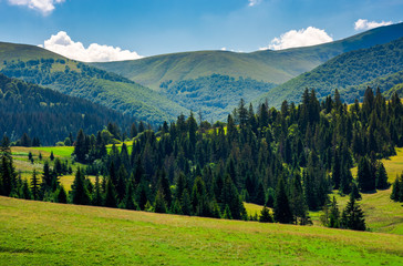spruce forest on grassy hills of Pylypets. beautiful countryside at the foot of mighty Borzhava mountain ridge in summer