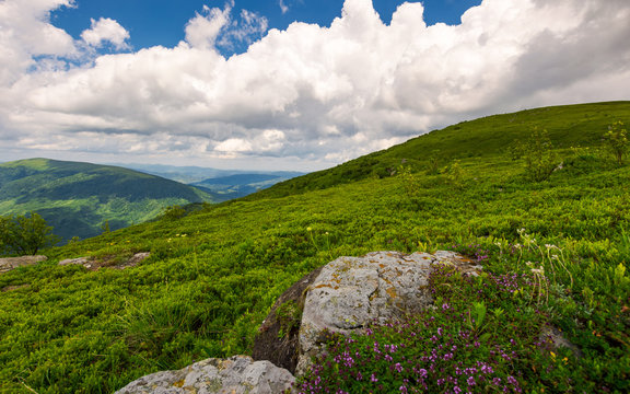 wild herbs among the rocks in summer mountains. wonderful scenery of Carpathian nature