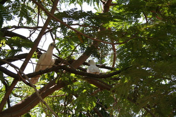 group of white cockatoos in a tree branch