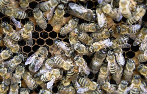 Wall mural Queen Bee Close Up