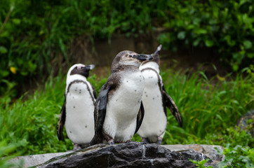 Penguins Cape Town, South Africa