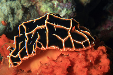 Reticulidia Halgerda on a Coral. Moalboal, Philippines