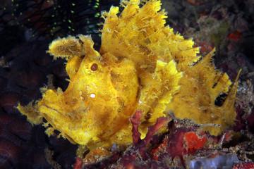 Yellow Weedy Scorpionfish (Rhinopias frondosa, aka Popeyed Scorpionfish). Anilao, Philippines