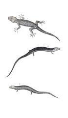 Reptile illustration