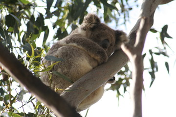 koala is climbing on a tree branch, australia