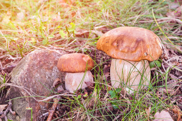 Porcini mushroom, Boletus edulis
