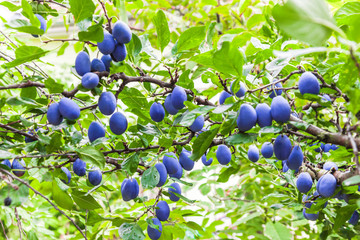 Plum tree branches in orchard with lots of colorful fruit on bright light