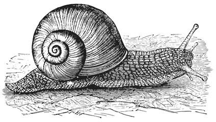 Snail - Mollusca #vector - Schnecke