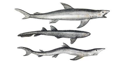 Illustration of shark