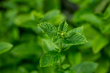 feuille de menthe dans le jardin, plante aromatique riche en menthol appréciée en cuisine ou dans le thé