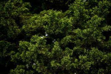Texture de feuilles d'épicéa