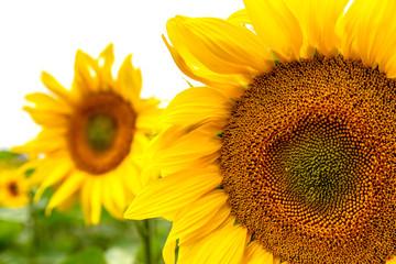 sehr viele schöne Sonnenblumen auf einem Feld