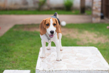cute beagle on white table