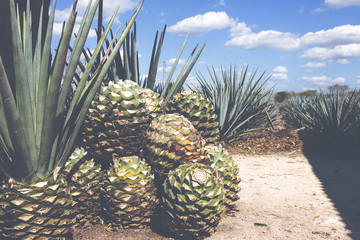 Cactus plants for tequila making. Image has a vintage effect applied.