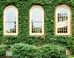 Photo sur Aluminium Etats-Unis Ivy wall in Harvard