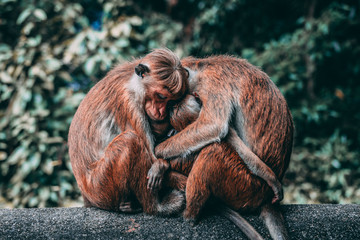 Two parent monkeys hug their child - Caring Parents