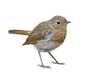 Young Robin (Erithacus rubecula) isolated on white background
