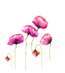 Poppy flowers on white background, watercolor illustrator , hand painted