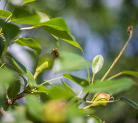 Young fruit of a pear tree on a branch.