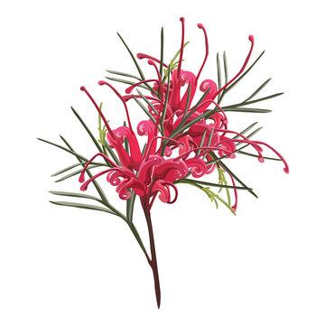 Australian Red Grevillea Vector