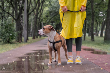 Walking the dog in raincoat on rainy day. Female person and staffordshire terrier dog stand on pavement in urban park in bad weather