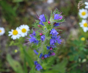 Echium vulgare, known as vipers bugloss and blueweed