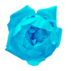 Flower cyan rose isolated on white background. Close-up.  Element of design.