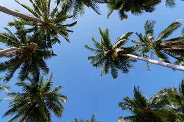Coconut palm trees in the blue sky background, image for summer background.