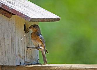 Female Bluebird brings twigs to her nest. Wall mural