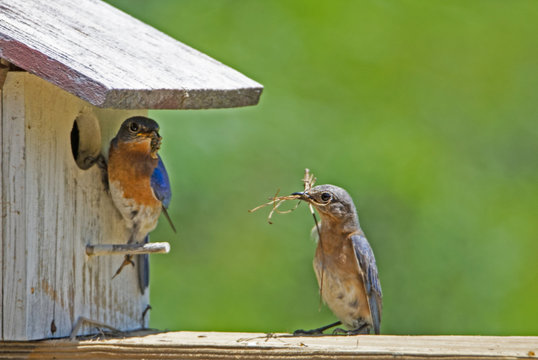 Male and female Bluebirds check out their nest.