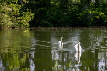 Deux cygnes sur l'étang de la Moselle près de Metz