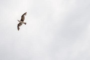 Vol d'un goéland sur fond clair vue de dessous