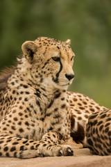 Beautiful close up portrait of Cheetah Acinonyx Jubatus in colorful landscape