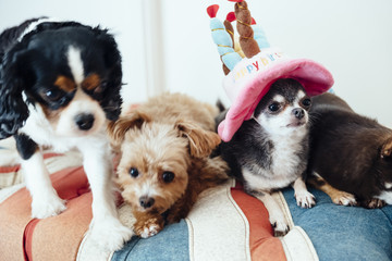 Chihuahua's birthday party,Cavalier,Chihuahua,Poodle