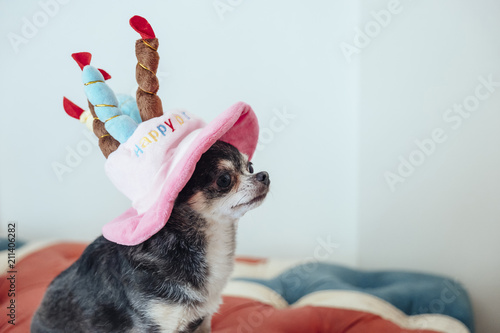 A Dog Is Looking Somewhere Wearing Hat In The Shape Of Birthday Cake Chihuahua