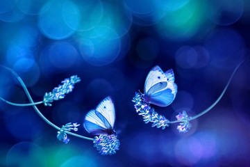 Beautiful white blue butterflies on the flowers of lavender. Summer spring natural image in blue and purple tones. Free space for text. Fantastic summer natural concept.