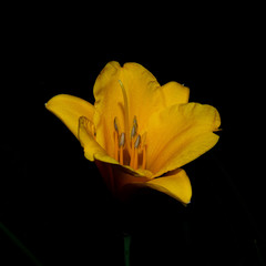Yellow lily in the black of the night