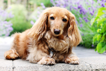 English cream Longhair dachshund outside in summer with lavender flowers in the background.
