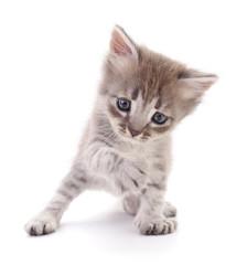 Small gray kitten.