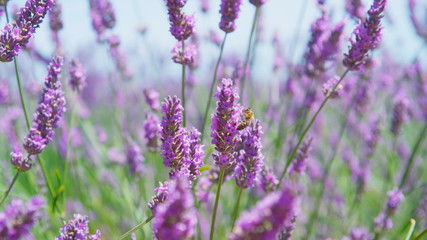 CLOSE UP: Bees pasturing on blooming lavender in sunny spring