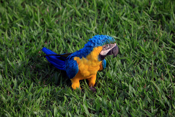 Curious Macaw Parrot Standing In The Grass - Nature, Colorful Wildlife, Garden. Yellow and Blue Colors, Lush Green Grass. Close-Up Image